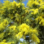 Acacia dealbata, Na Set Centes