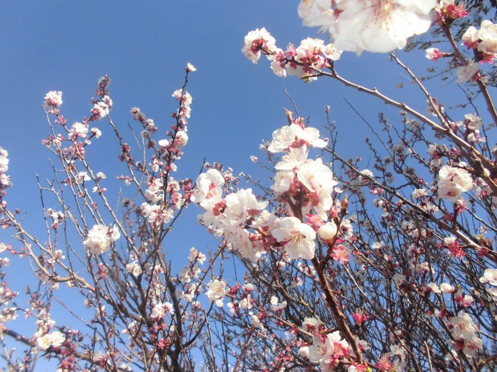 Apricot tree blossom, Na Set Centes, 2020